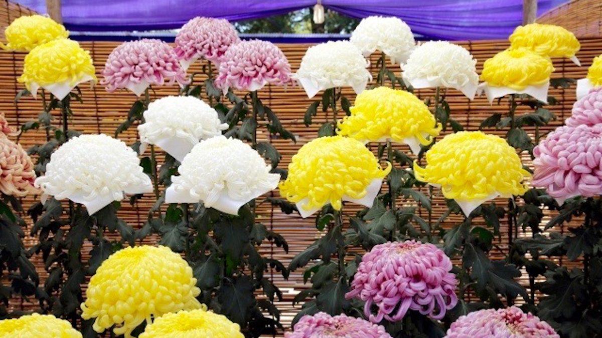 【血液型別花札占い】開運! 重陽の節句の健康法