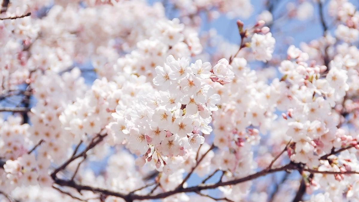 春を告げる桜色ラベルの日本酒に誘われ、静かにお花見を楽しむ