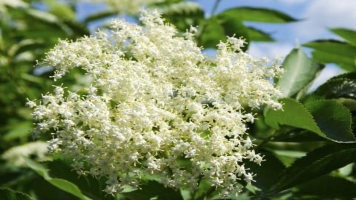 今の季節に大活躍 花粉症対策に!西洋の薬草エルダーフラワー